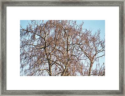 Southern Illinois Calalpa Framed Print by Paul Louis Mosley