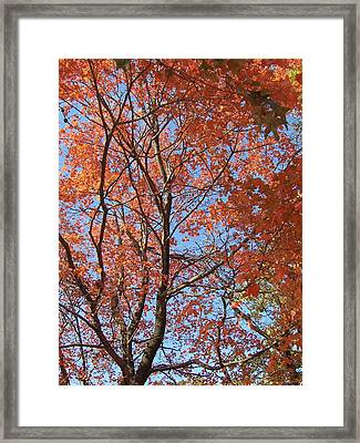 Southern Illinois Maple Framed Print by Paul Louis Mosley