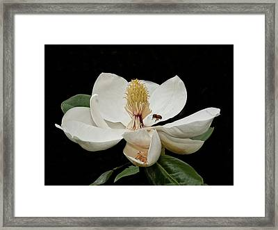Southern Magnolia With Bee Framed Print