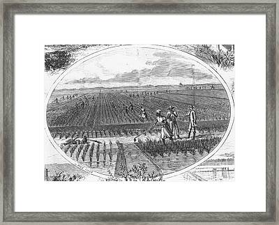 Southern Rice Field Framed Print