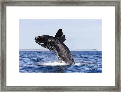 Southern Right Whale Framed Print by Francois Gohier and Photo Researchers