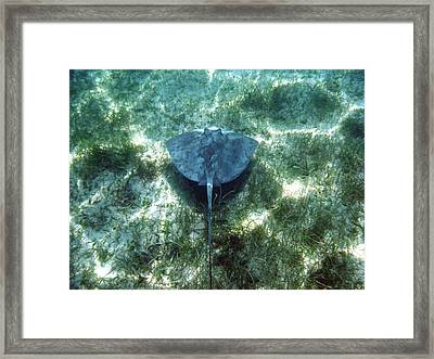 Southern Sting Ray In Flight Framed Print