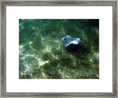 Southern Stingray Browsing About Framed Print