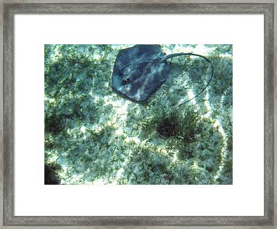 Southern Stingray Framed Print