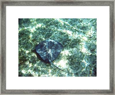 Southern Stingray Hovering Framed Print