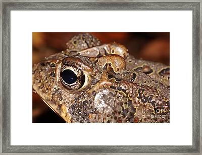 Southern Toad Left Side Framed Print
