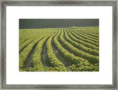 Soybean Crop Ready To Harvest Framed Print