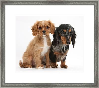 Spaniel & Dachshund Puppies Framed Print by Mark Taylor
