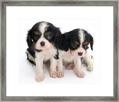 Spaniel Puppies Framed Print by Jane Burton