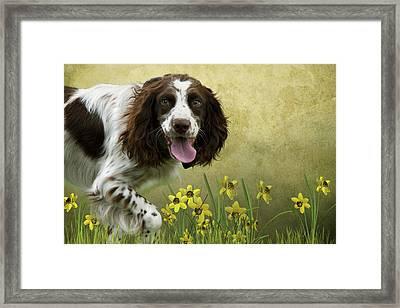 Spaniel With Daffodils Framed Print by Ethiriel  Photography