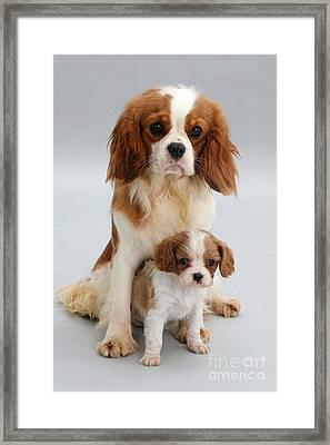 Spaniels Framed Print by Jane Burton