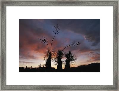 Spanish Bayonet Yucca Plants Framed Print by Annie Griffiths