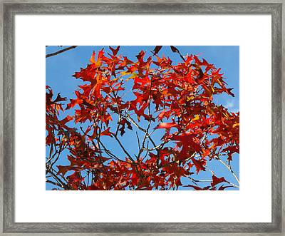 Spanish Oak Tree In Texas Framed Print by Rebecca Cearley