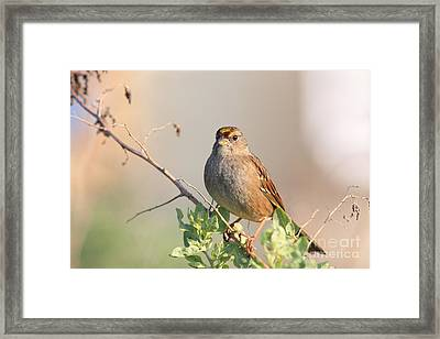 Sparrow Bird Perched . 40d12304 Framed Print by Wingsdomain Art and Photography