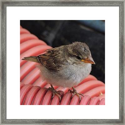Sparrow On A Pipe Framed Print