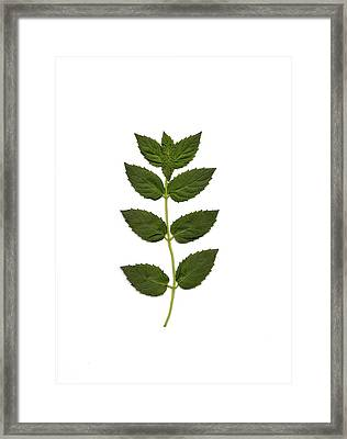 Spearmint Framed Print by Mary Ann Southern