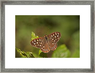 Speckled Wood Framed Print by Paul Scoullar