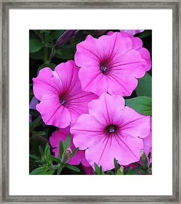 Spectacular Pink Framed Print by Bruce Bley