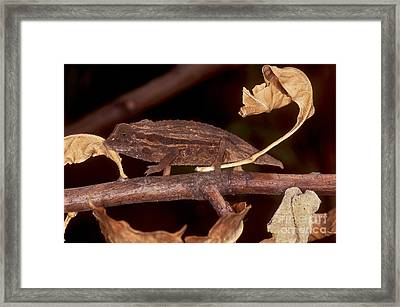 Spectral Pygmy Chameleon Framed Print by Dante Fenolio