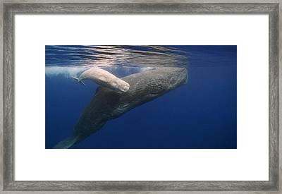 Sperm Whale Mother And White Calf Framed Print by Flip Nicklin