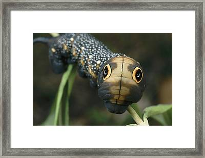 Sphinx Moth Caterpillar Inflating Framed Print by Darlyne A. Murawski