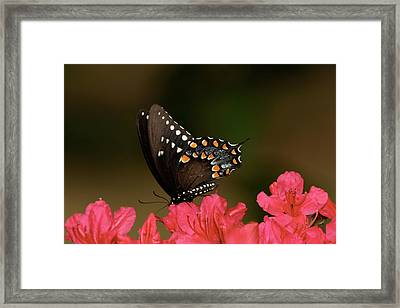 Spice Bush Swallowtail And Azaleas Framed Print by Lara Ellis