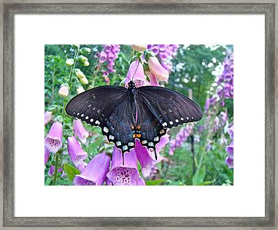 Spicebush Swallowtail Butterfly On Foxgloves - Papilio Troilus Framed Print by Mother Nature