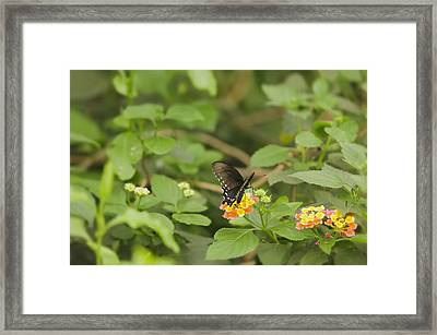 Framed Print featuring the photograph Spicebush Swallowtail Butterfly On Lantana Shrub Verbena by Marianne Campolongo