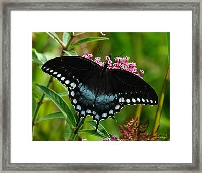 Spicebush Swallowtail Din038 Framed Print
