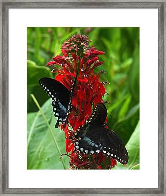 Spicebush Swallowtails Visiting Cardinal Lobelia Din041 Framed Print