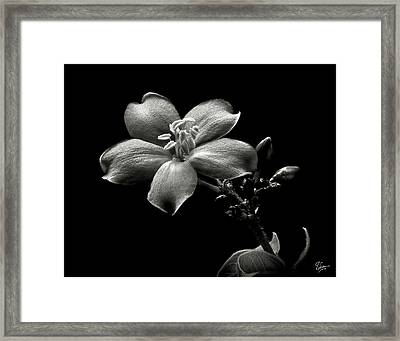 Spicy Jatropha In Black And White Framed Print