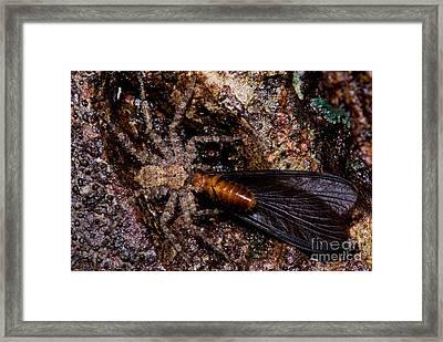 Spider Eats Termite Framed Print by Dant� Fenolio