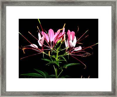 Spider Flower  Framed Print by Kim Galluzzo Wozniak