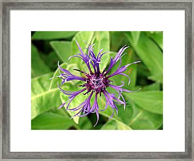 Framed Print featuring the photograph Spider Flower by Nick Kloepping