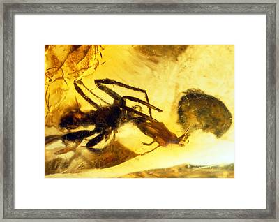 Spider In Amber Framed Print by Sinclair Stammers