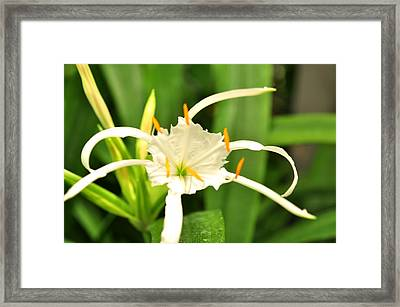 Framed Print featuring the photograph Spider Lily  by Puzzles Shum