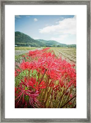 Spider Lily Framed Print by Yoshika Sakai