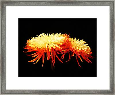 Spider Mums Framed Print by Yvonne Scott
