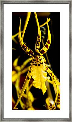 Spider Orchid Framed Print by Barbara Middleton