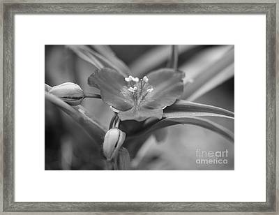 Spiderwort In Black Framed Print by Brooke Roby