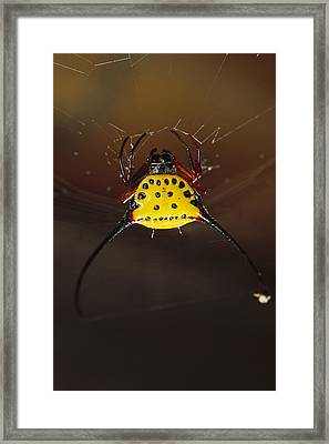 Spiked Spider Gasteracantha Sp In Web Framed Print