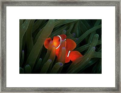 Spinecheek Anemonefish Framed Print by Alastair Pollock Photography