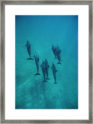 Spinner Dolphin Group Underwater Bahamas Framed Print by Flip Nicklin