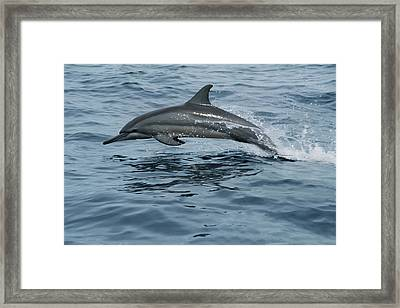 Spinner Dolphin Stenella Longirostris Framed Print by Mike Parry