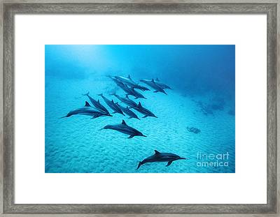 Spinner Dolphins Blue Framed Print by Monica and Michael Sweet