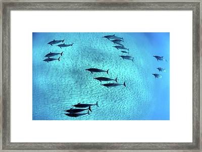 Spinner Dolphins Glide Underwater Framed Print by Monica and Michael Sweet