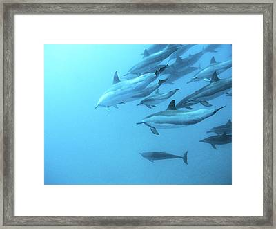 Spinner Dolphins Hawaii Framed Print by Monica and Michael Sweet