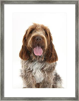 Spinone Italiano Framed Print