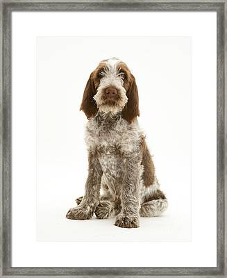 Spinone Puppy Framed Print