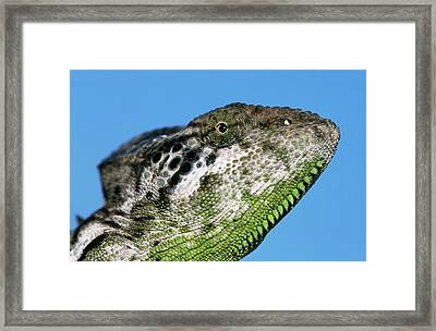 Spiny Chameleon Chamaeleo Verrucosus Framed Print